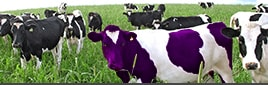 Several cows in a pasture with one front and center that happens to be a purple and white cow to illustrate standing out as being different or remarkable.
